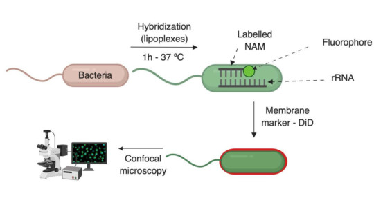 Delivery of nucleid acid mimics (NAMs) into bacteria